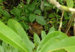 Endangered Philippines tarsier